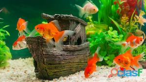 Venda de peixes ornamentais   aquários   canários   periquitos   calopsitas