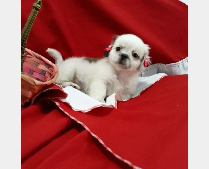 Shih tzu fêmea vacinada mini pequenina