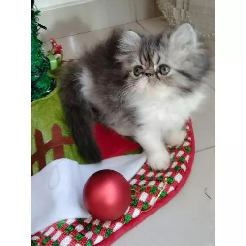 Gato persa bicolor black and white com pedigree