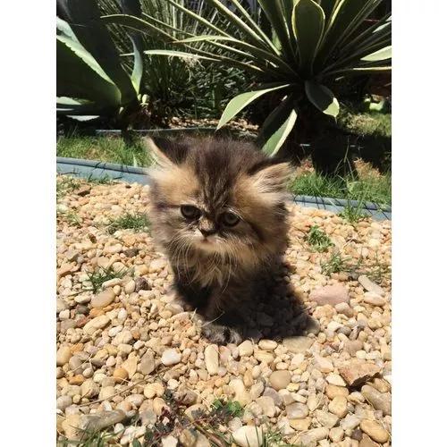 Gato persa macho e fêmea