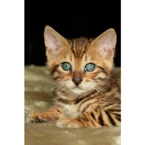 Gatos bengal machos castrados com pedigree
