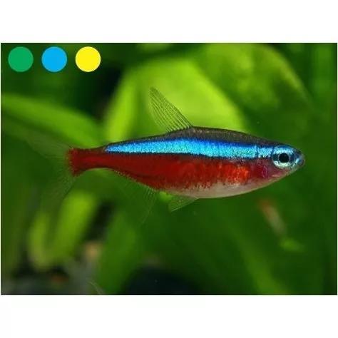 Peixe neon cardinal (paracheirodon axelrodi) - 10 unidades