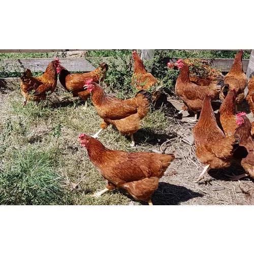 15 ovos galados da poedeira caipira