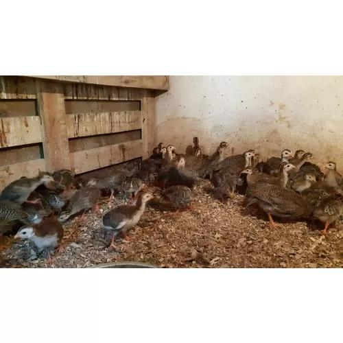 Angolas, exterminadoras natural de animais peçonhentos.