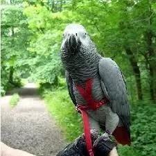 Coleira p/ papagai do congo - peitoral e guia - frete r$10,0