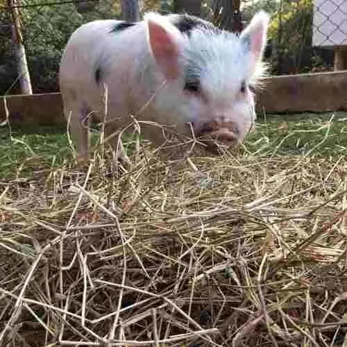 Feno in natura para mini pig pacote 2kg