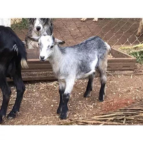 Fêmea mini cabra