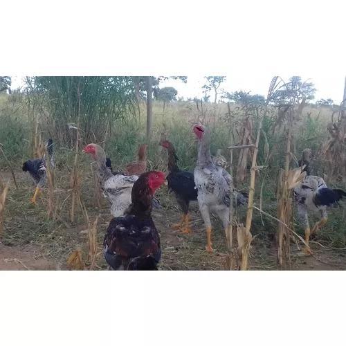 India gigante ovos galados galinha/galo duzia mais brinde