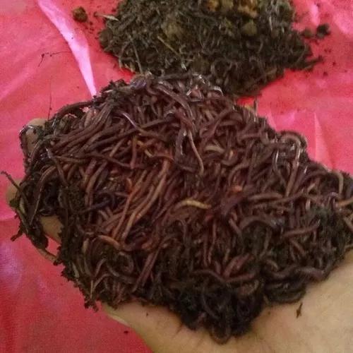 Minhocas vermelhas californianas (eisenia andrei) bh-mg