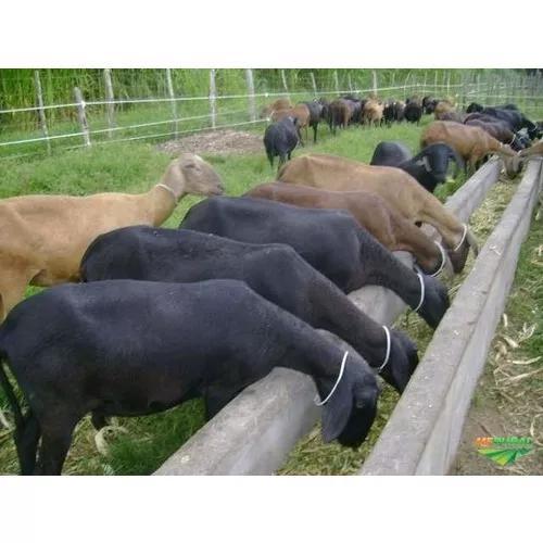 Ovinos / Cordeiros Para Abate