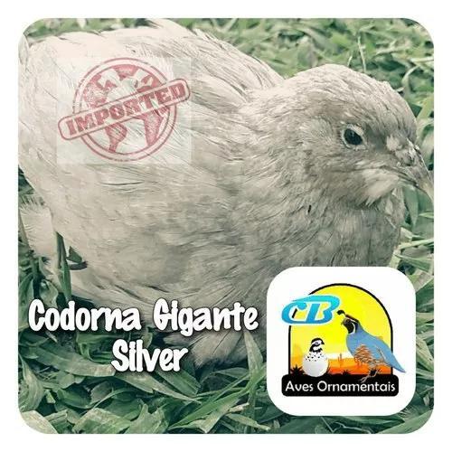 Ovos galados codorna gigante silver importada (12 und)