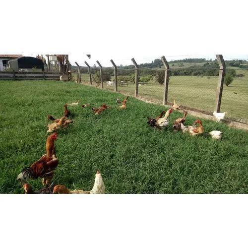 Ovos galados de indio gigante da serra 15 ovos