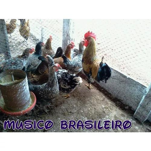 Ovos galados galinha músico brasileiro - compre 12 leve 15