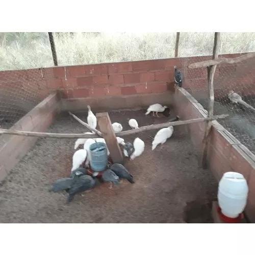 Pronta entrega de ovos de galinha da angola todas as cores.
