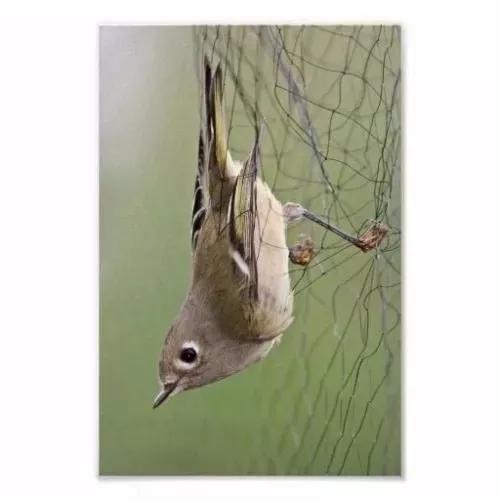 Rede neblina para captura de pássaros e morcegos 10x3