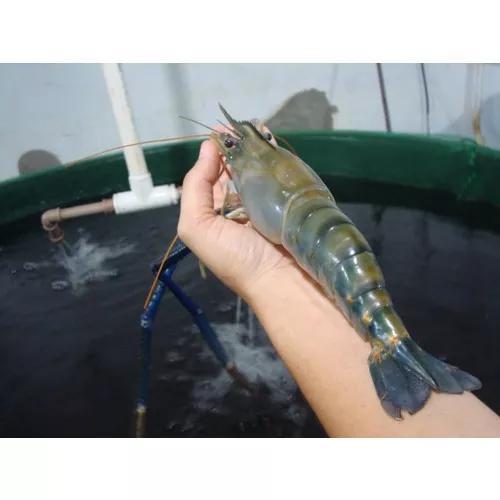 Visita técnica à fazenda de produção de camarão