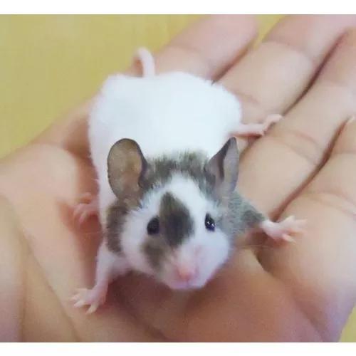 Curso online - aprenda a criar rato topolino criação