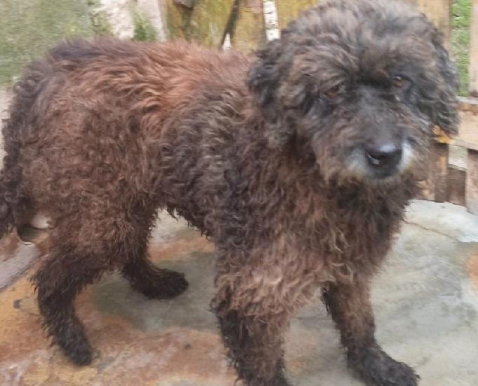 Aline - linda poodle chocolate com olhos cor de mel