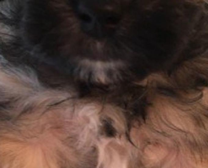 Cachorro maltipoo microchipado