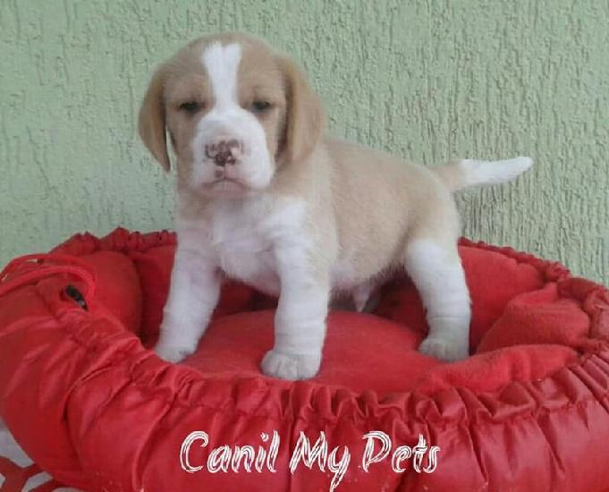 Promoção filhote de beagle macho - canil my pets