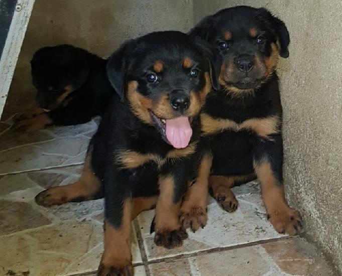 Rottweiler filhotes pedigree cbkc linhagem alemã