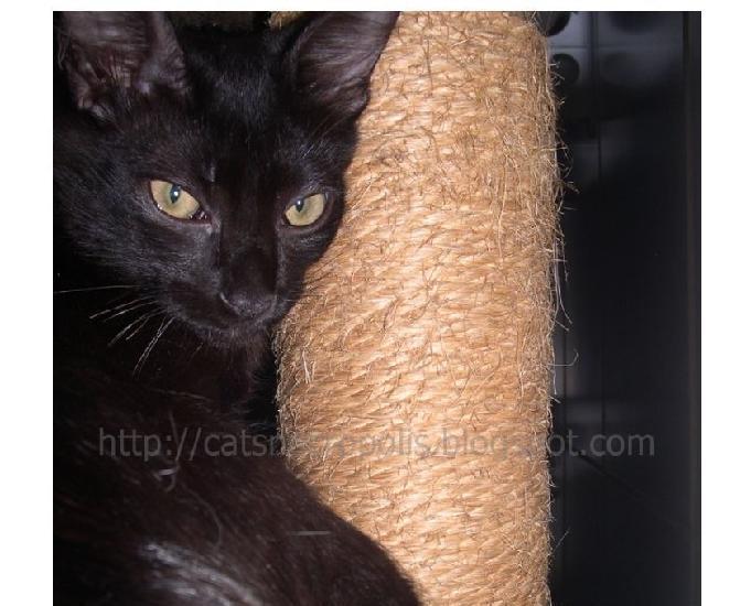 Anko - gatinho castrado para adoção