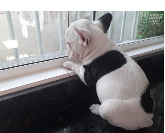 Bulldog francês lindas fofuras pronto para sua companhia