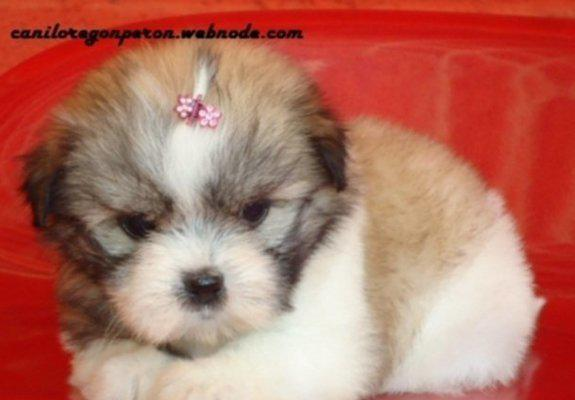 Bebes de lhasa apso caniloregon peron filhotes pronta