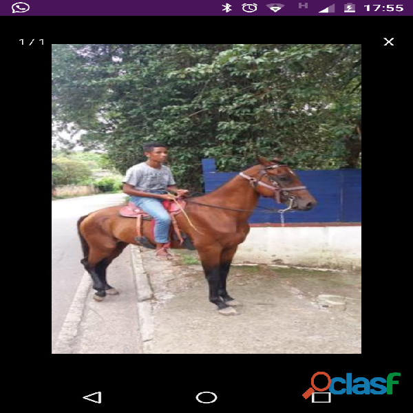 Cavalo argentino com inglês