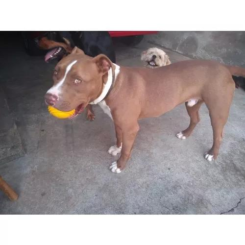 Pit bull red nose macho 6 meses