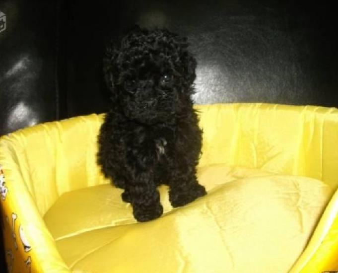 Poodle toy último filhote machinho preto