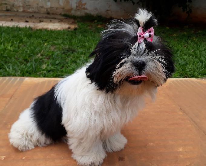 Shihtzu linda fêmea tricolor com pedigree