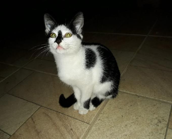 Gatinha para adoção, preta e branco, aceita o toque