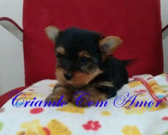 YorkShire Terrier Micro Fêmea