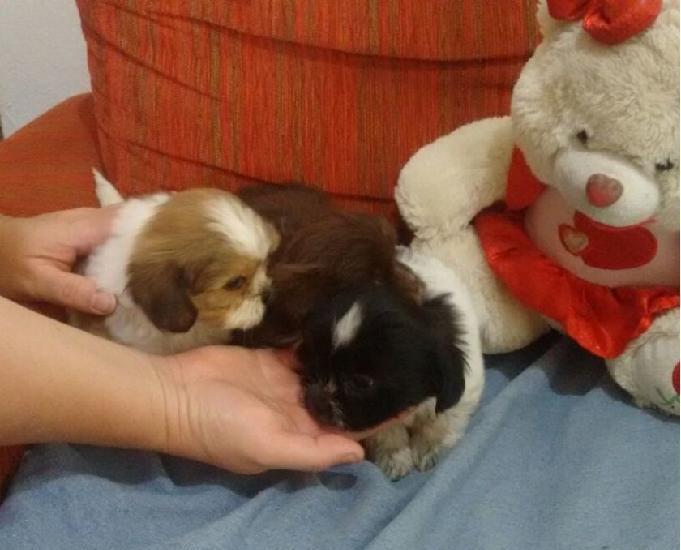 Filhotes yorkshire, pinscher mini e lhasa-apso