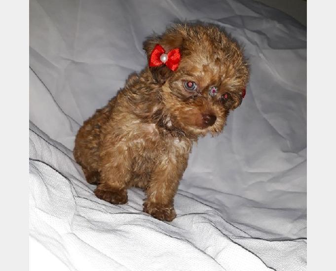 Poodle toy fêmea chocolate dos olhos claros e foucinho