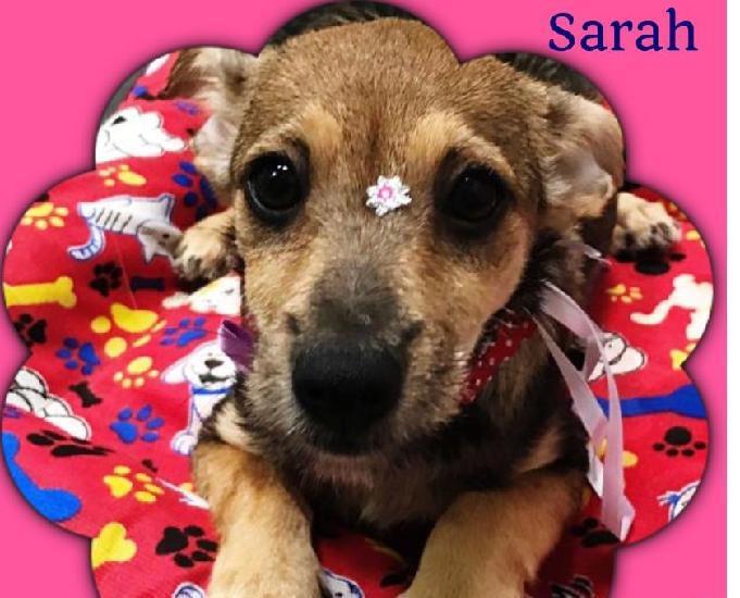 Sarah fofura filhote somente lar responsavel