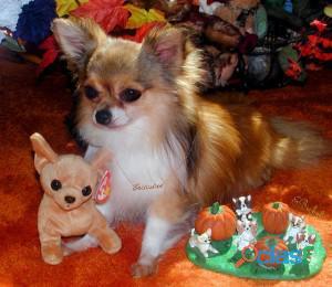 Chihuahua livre para adoção