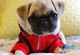 Filhotes de cachorro lindo pug ...
