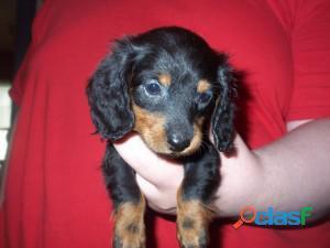 Mini dachshunds