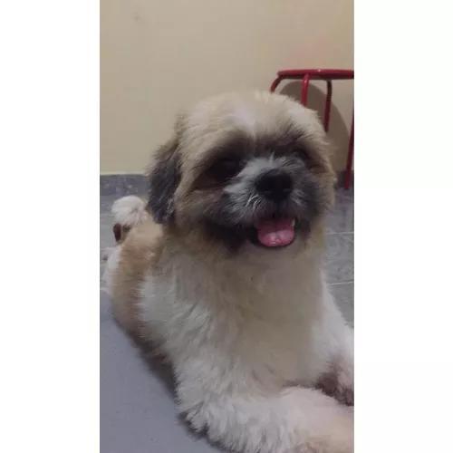 Cachorro lhasa