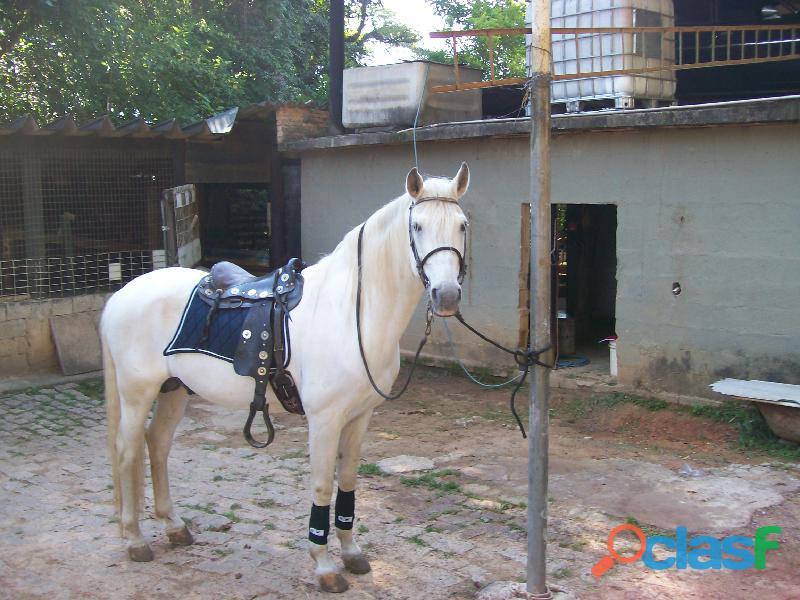 Cavalo lusitano marchador e trote