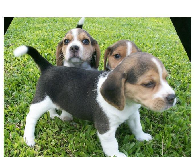Filhote de beagle mini (13 polegadas) em 6x, com garantia