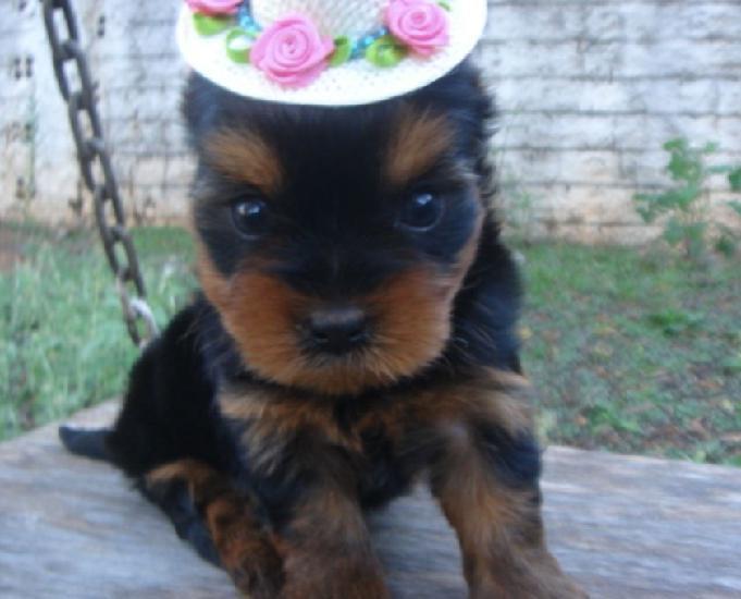 Filhotes yorkshire terrier a venda