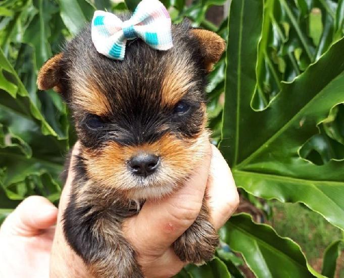 Filhotes disponiveis a venda yorkshire terrier