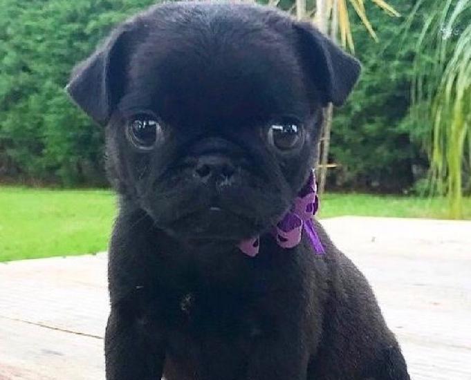 Pug fêmea com pedigree