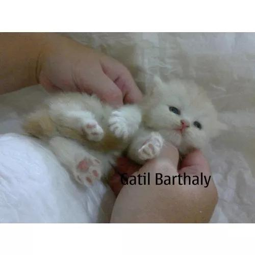 Filhote gato de raça e pedigree. pra companhia