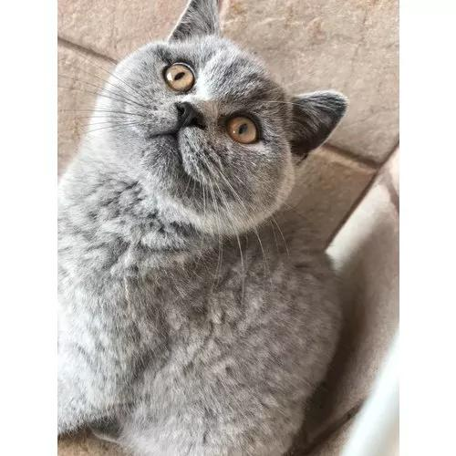Filhotes de gato scottish straight (british shorthair)