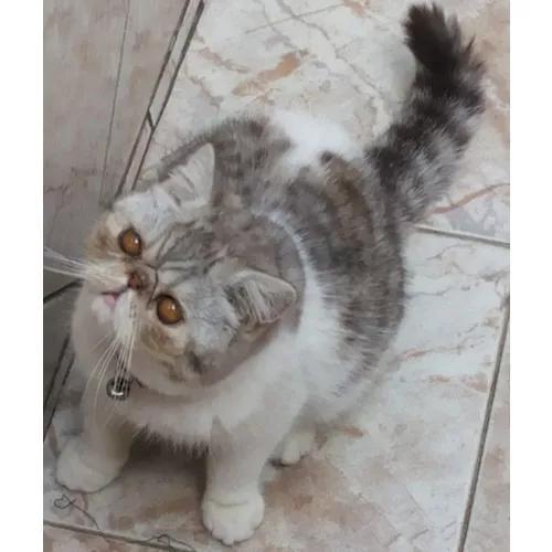 Gato exótico adulto - padreador