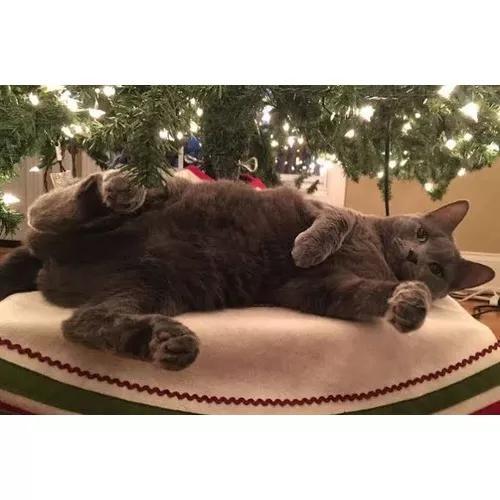 Macho adulto castrado de russian blue azul russo gatos